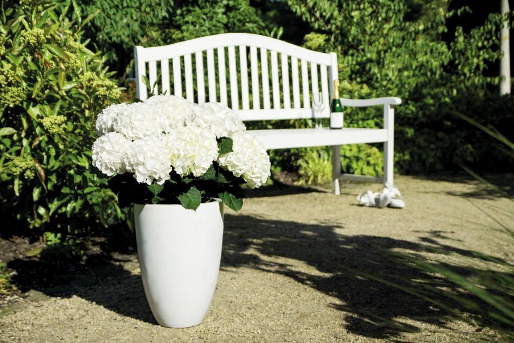 Hochzeitshortensie an einer Gartenbank