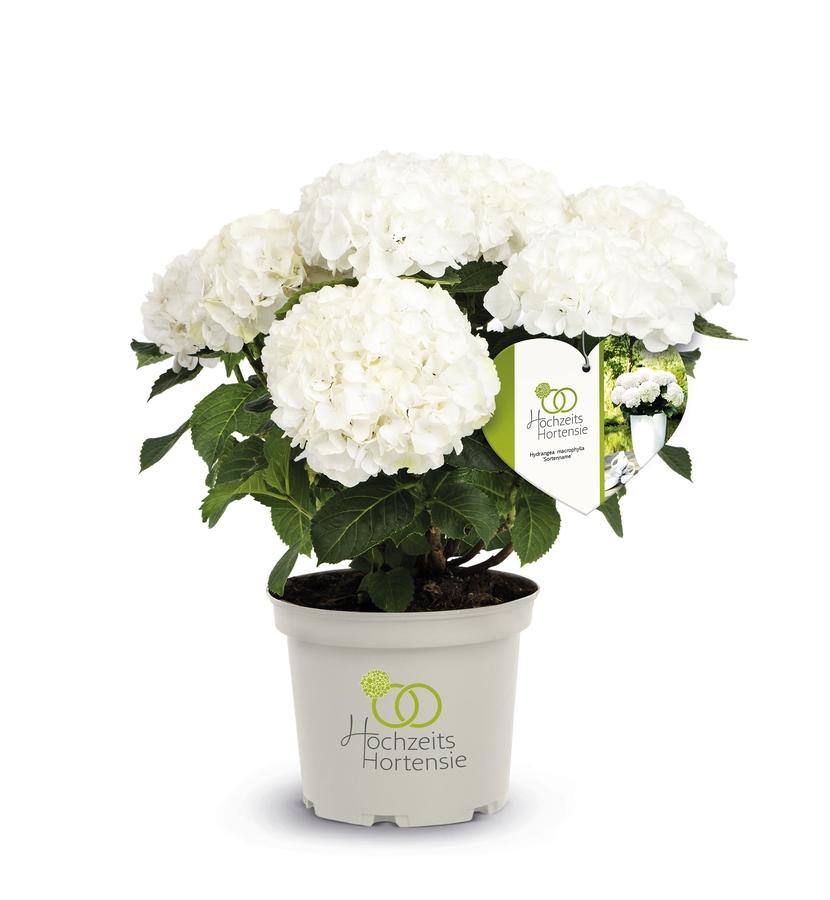 Hochzeits-Hortensie im weißen 5l Container, Pflanzengröße 30-40 cm