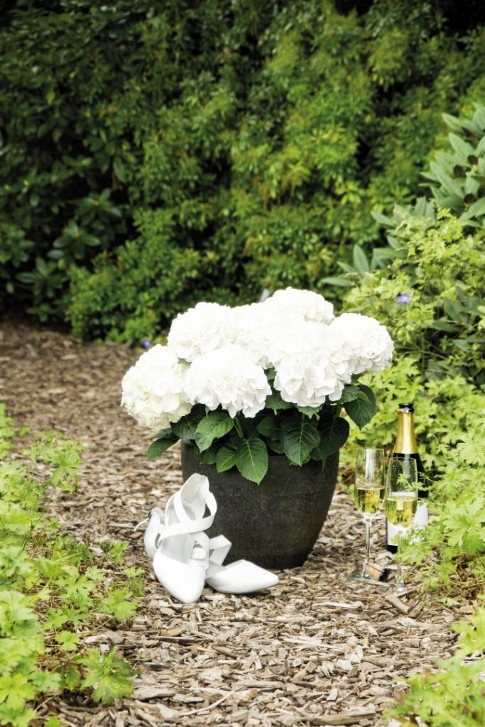 Hochzeits-Hortensie am Gartenweg